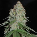 white-widow-marijuana-Weed-for-sale-online - buy Cheap White-Widow cannabis
